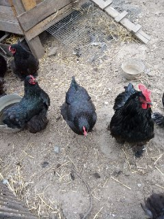 Инкубационные яйца мясо-яичной породы Кохинхин