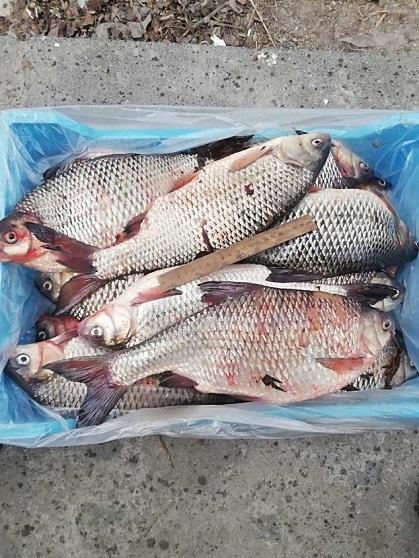 Свежая рыба. Густера, плотва, судак, лещ, окунь и др.