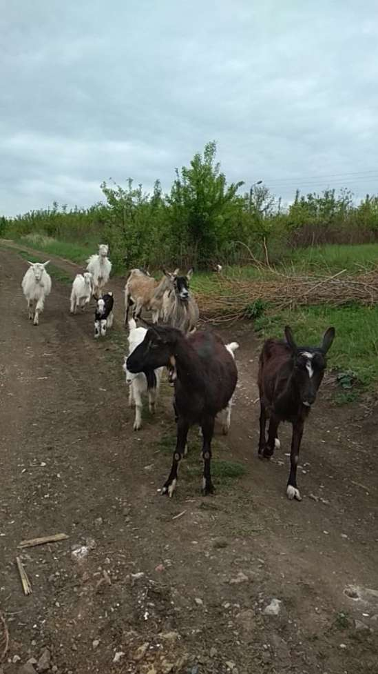 Кози і козенята