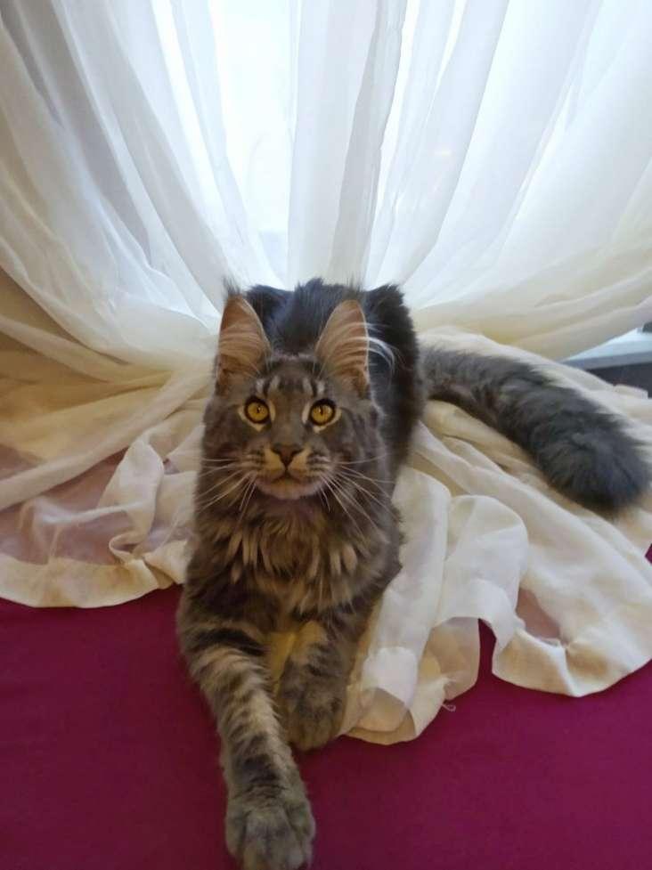 Элитные котята Мейн Кун в разведение - не метящая линия