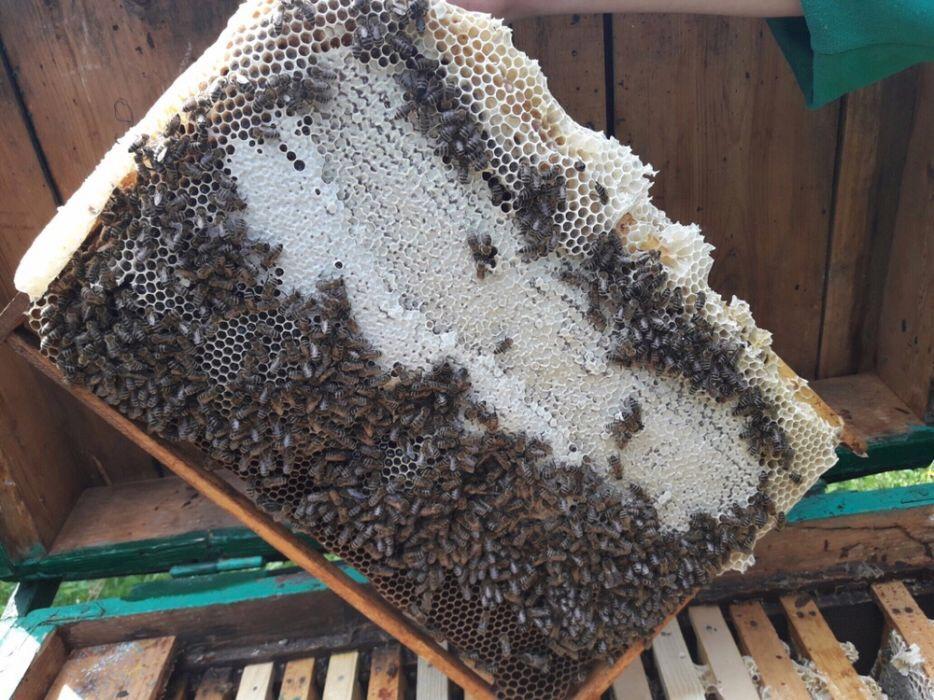 Пчеломатки карпатка. Бджоломатки карпатка1