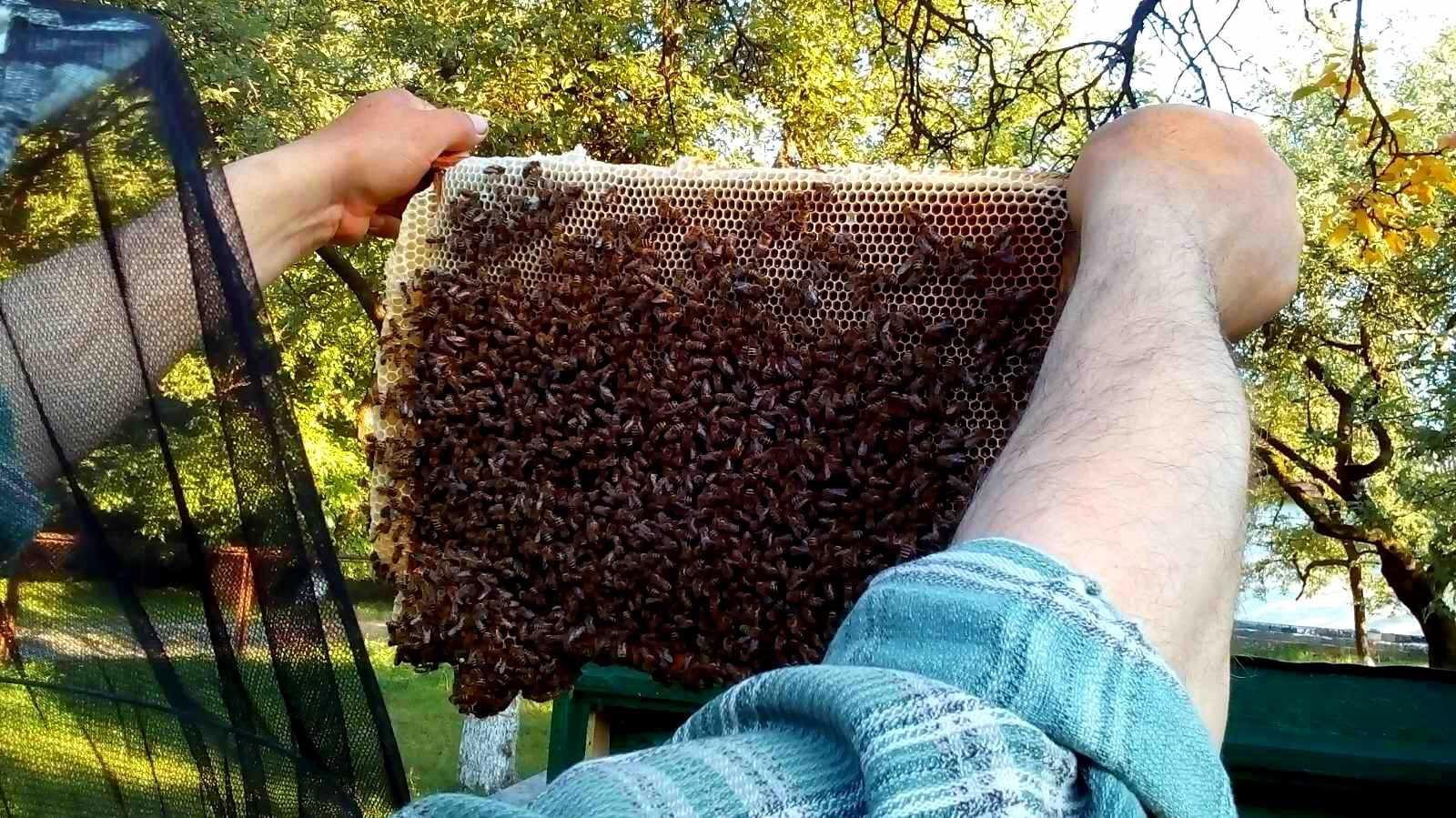 Пчеломатки карпатка. Бджоломатки карпатка3