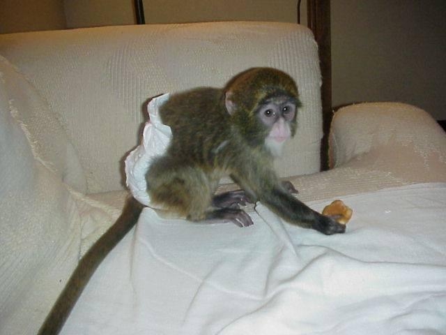 Удивительный детеныш обезьяны-капуцина для усыновления