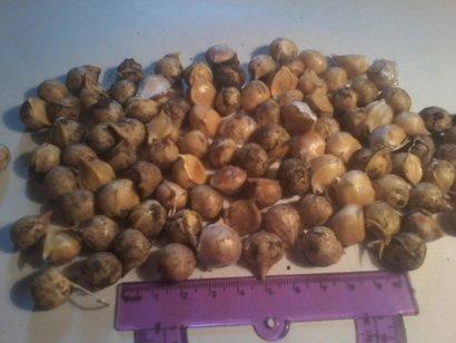Рокамболь чеснок детки (семена), сорта голландский, испанский, кипрский