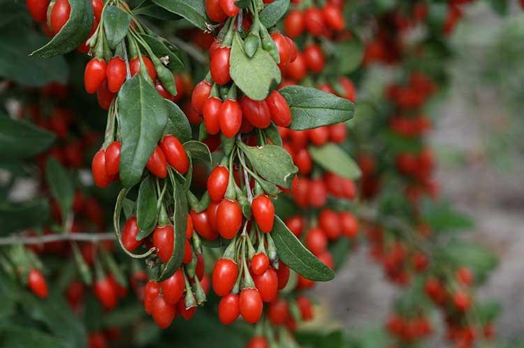 Годжи саженцы сортовые 1-2-3х летние и свежие плоды (ягоды)