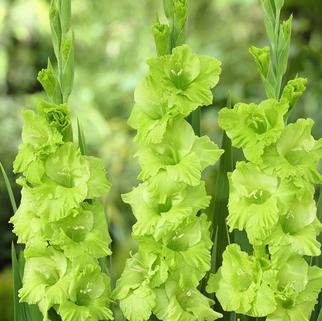 Гладиолус Evergreen крупноцветковый (10280), De Ree