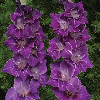 Гладиолус Violetta крупноцветковый (10288), De Ree