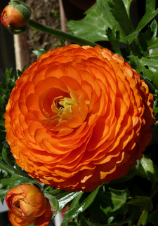 Лютик оранжевый (10300)