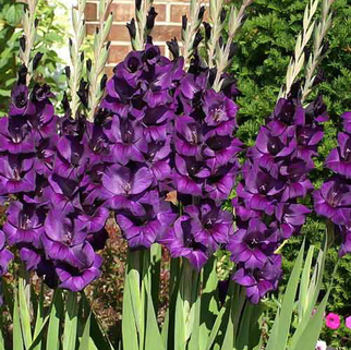Гладиолус Black Velvet крупноцветковый (10400), De Ree
