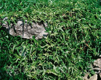 Плющ звичайний, вузьколистий Sagittіfolia