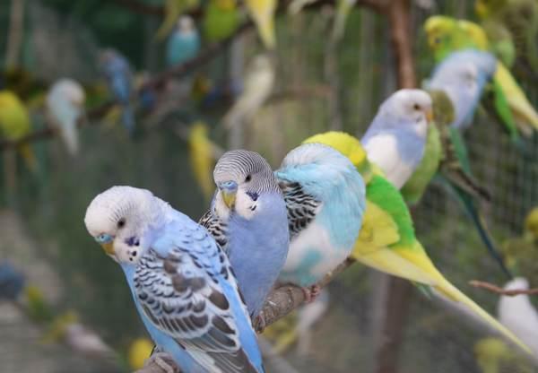 продам молодняк волнистых попугаев и корелл.