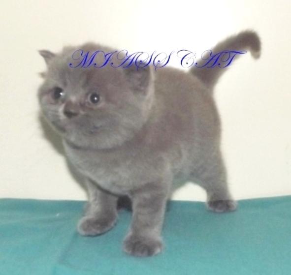 Шотландские котята отличного качества по доступным ценам